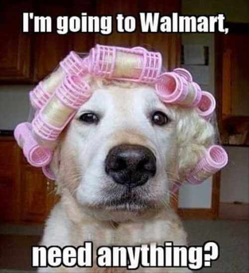 dog going to wal mart with curlers in its hair
