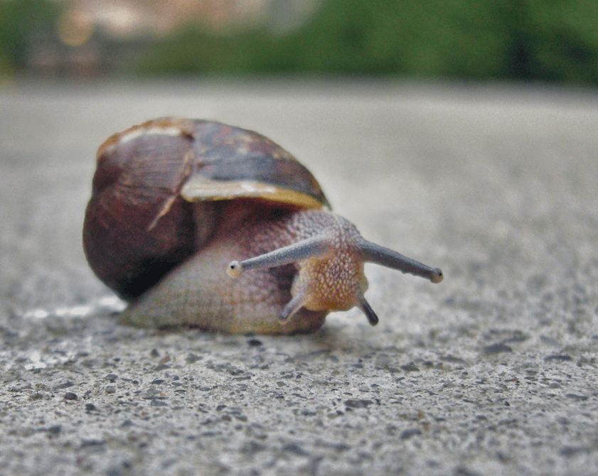 largest snail in the world
