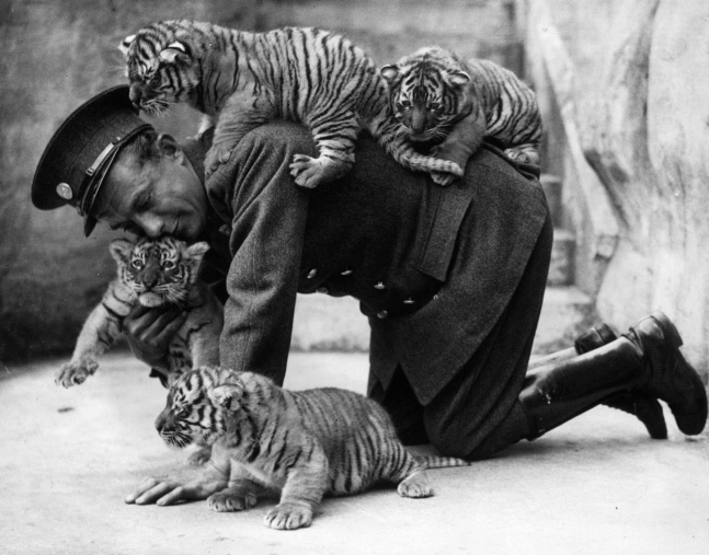 A zoo keeper and tiger cubs